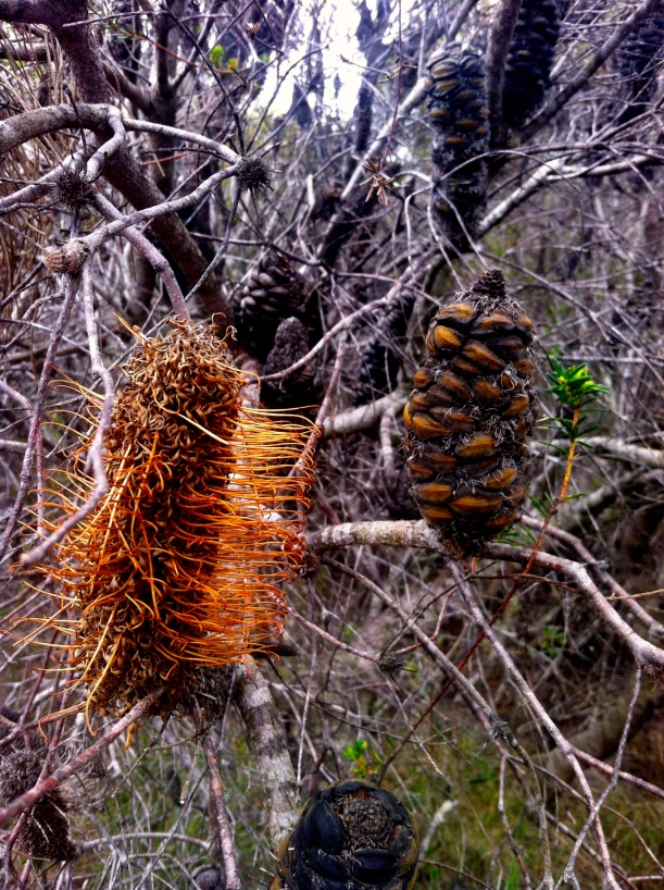 The Banksias have many mouths.